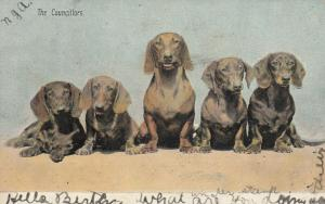 Dachshunds The Councilors, PU-1908