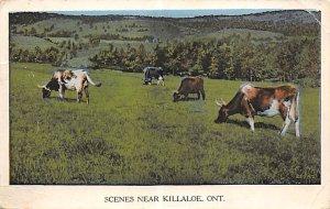 Cow Post Card Farm Scene Killaloe, Ontario, Canada Postal Used Unknown