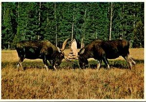 Bull Moose Yellowstone and Grand Teton National Park