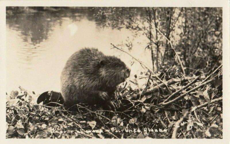 RP:  Beaver near FAIRBANKS , Alaska , 1910-20s