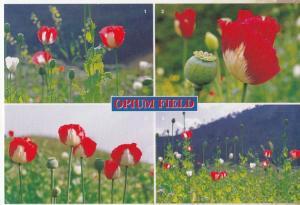 Opium Field Thailand Postcard