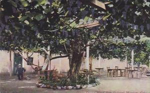 Giant Grape VIne,San Gabriel Mission,California,00-10s