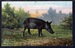 Florida Razor Back Hog