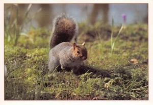 Postcard American Grey Squirrel by J. Arthur Dixon Ltd (PGR00887) I37