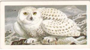 Trade Card Brooke Bond Tea Wild Birds in Britain 33 Snowy Owl