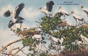 Florida Birds Wood Ibis In An Everglades Rookery Curteich