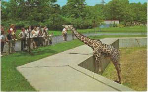 Vtg 1960's Female Giraffe at Cleveland Zoo, Cleveland, Ohio Postcard