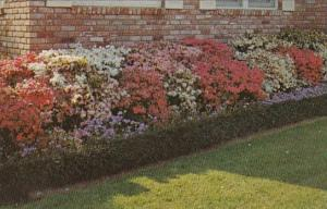 Mississippi MccOmb Beautiful Azaleas