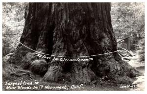 Largest Redwood . Muir Woods National Monument