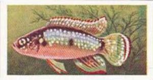 Mitchum Foods Vintage Trade Card Aquarium Fish 1957 2nd Series No 29 Jewel Fish