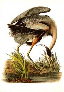Birds Great Blue Heron From Birds Of America