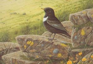 Ring Ouzel Bird Lake District Birds Postcard