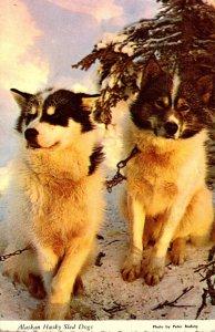 Alaska Alaskan Husky Sled Dogs