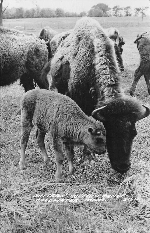 Coldwater Michigan~Butters Buffalo Ranch~Cow & Calf Grazing in Herd~1940s RPPC