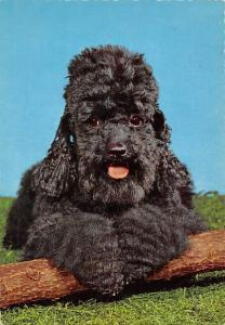 Black Russian Terrier ? Barbet, cocker, spaniel, dog, puppy, long haired dog