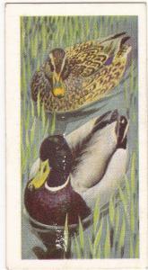 Trade Card Brooke Bond Tea Wild Birds in Britain 39 Mallard