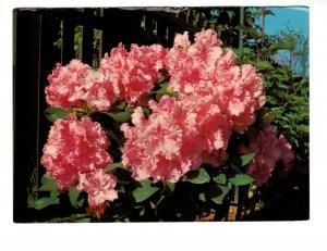 Rhododendron. Beautiful British Columbia, Flower