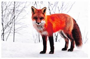 Animal Postcard,  Fox 45G