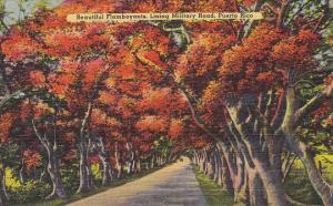 Flamboyant Trees In Bloom Lining Military Road Daguas Puerto Rico