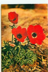 Postcard Israel Flowers Anemone Desert Protected Wild Pl  Free Shipping  #2576A