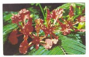Flowers , Antigua , W.I. , 40-60s