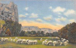 Sheep Post Card Sheep Grazing on a Mountain Meadow Vernal, Utah, USA Unused