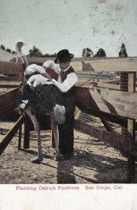 SAN DIEGO, California, PU-1909; Plucking Ostrich Feathers