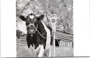 Postcard Friesian Cow tethered to a Parking Meter by English Heritage