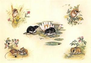 British Mice, Helen Babington, Harvest Mouse, Water Shrews, Wood Mouse, Apodemus