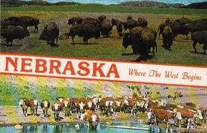Nebraska Where The West Begins Herd Of Buffalo and White Faced Herefords At R...