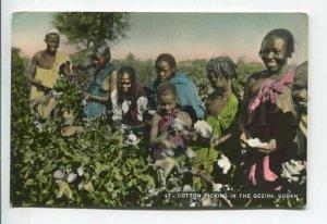 438831 SUDAN Cotton picking in Gezira Vintage photo tinted postcard