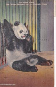 Giant Panda Bear The Chicago Zoological Park At Brookfield Illinois 1958 Curt...