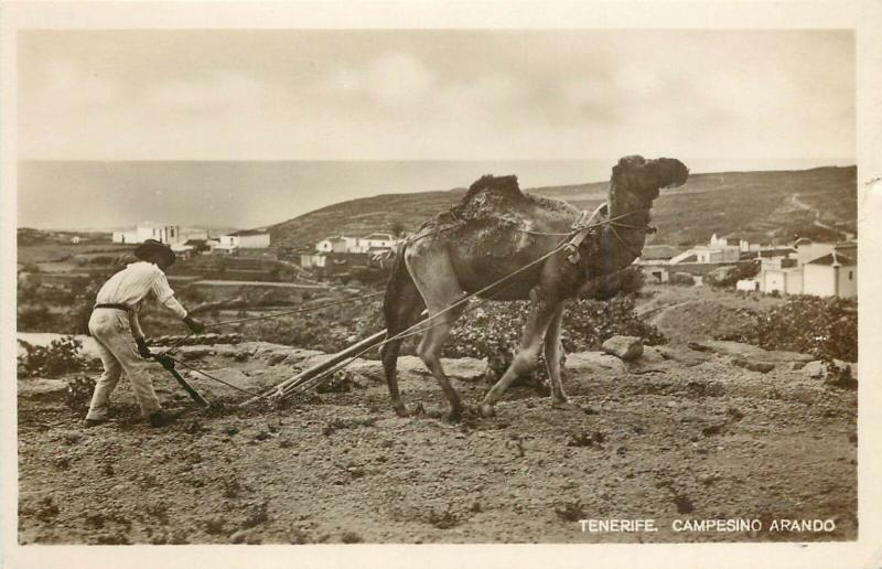 RPPC Postcard Plowing with Camel, Tenerife Campesino Arando Canary Islands Spain