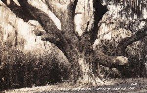 RP: AVERY ISLAND, Louisiana, 1930-50s; Cleveland Oak Tree at Jungle Gardens
