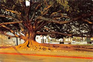 Moreton Bay Fig Tree -