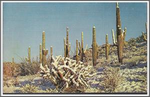Arizona Saguaro & Cholla Cactus Postcard