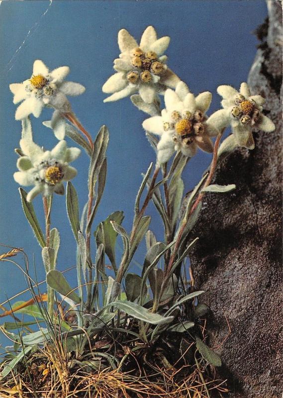 Br71855 Flower Fleur Leontopodium Alpinum Edelweiss Switzerland
