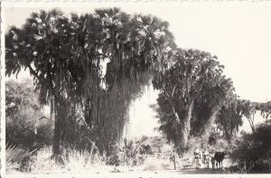 Real Photo Postcard Eastern Africa Ethiopia Eritrean flora doums palms
