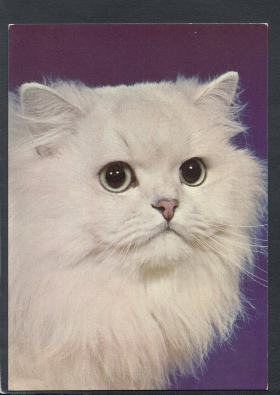 Animals Postcard - Cats - Cat - Kittens - Kitten - Pandora, Chinchilla RR6502
