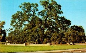 California Chico Sir Joseph Hooker Oak