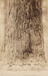 RP: REDWOOD HIGHWAY, California, 1920-1940s; Large Redwood over 20 FT Wide