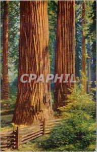 Modern Postcard California Redwoods