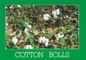 Cotton Bolls Crop in North Louisiana and Mississippi