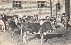 Heard of Guernsey cows East Canterbury, New Hampshire, USA Shaker Unused