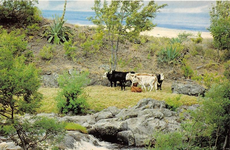 Island of Hawaii~Parker Ranch Cows Grazing~Ocean View Bknd~1960-70s Postcard