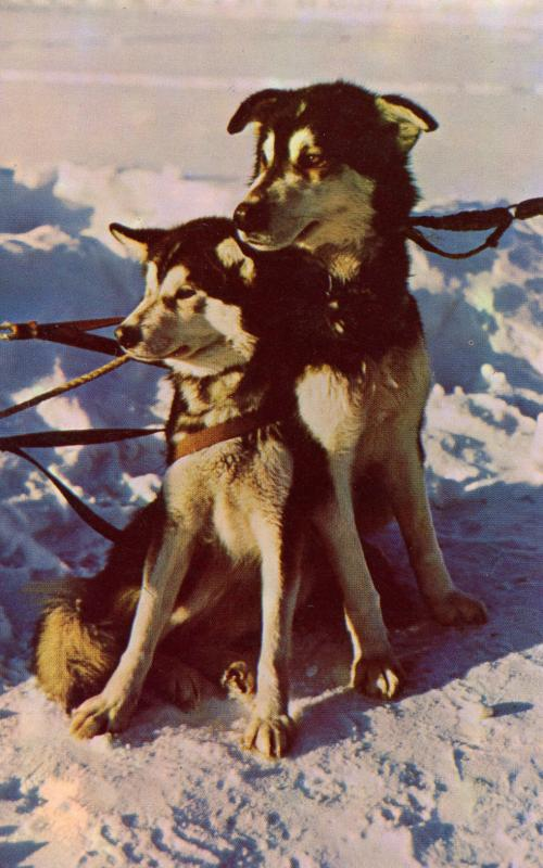 Dogs -  Husky Sled Dogs