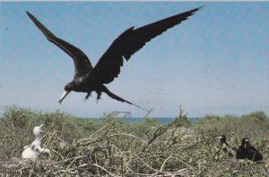 GALAPAGOS - Ecuador , 50-70s ; Frigate Bird #2