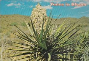 Flowers Cactus Southwestern Yucca In Bloom