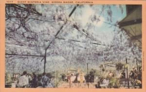 California Sierra Madre Giant Wisteria Vine