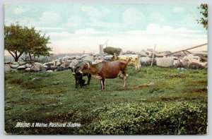 Maine Pasture Scene~Cows Kept Corralled by Stone Fence~New Harbor 1909 Cancel